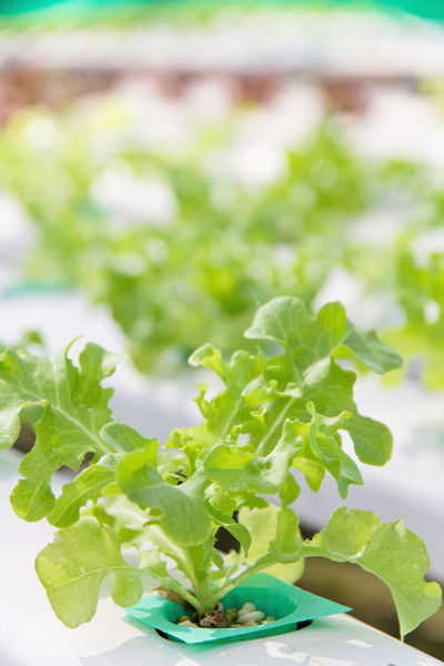 Green Hydroponic Lettuce Close-up Day Farming Food Food And Drink Freshness Green Color Growth Healthy Eating Hydroponic Hydroponic Vegetables Hydroponicsystem Leaf Nature No People Outdoors Plant Salad Vegetable Vegetable Garden