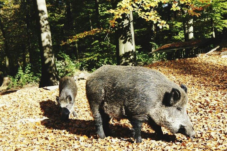 Image result for forest pig