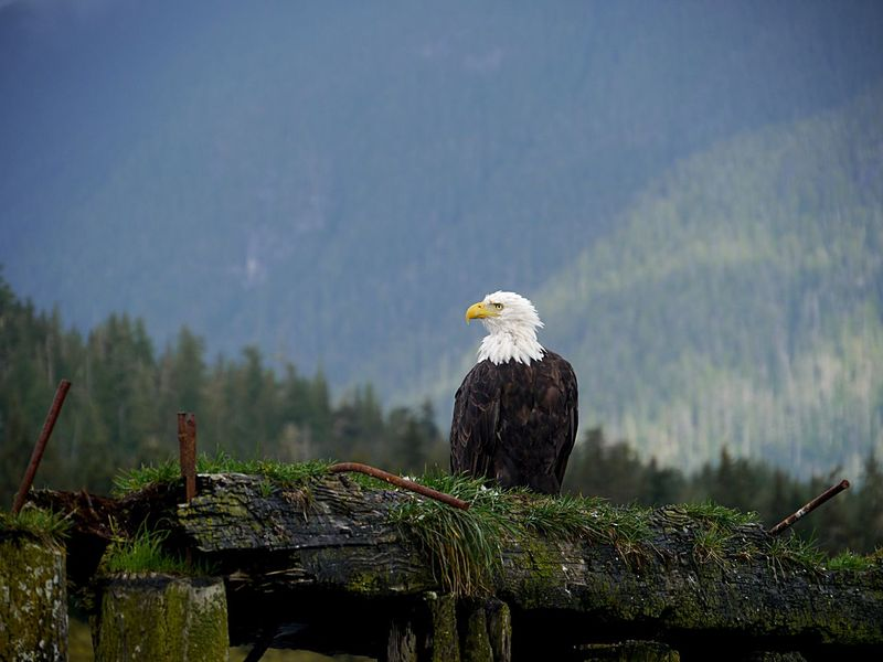 Watchful bald headed eagle British Columbia Kanada Canada Great Bear Rainforest Knight Inlet Weißkopfseeadler Perched Eagle Raubvogel Bird Bald Eagle Animals In The Wild Animal Themes One Animal Bird Of Prey Eagle - Bird Animal Wildlife Nature Outdoors Beak Beauty In Nature Perching