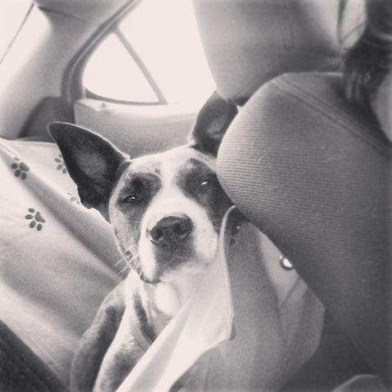 How come you so cute? ❤ Cuteasabutton Cruisin Happy LovinLife sodarncute dog spoiled
