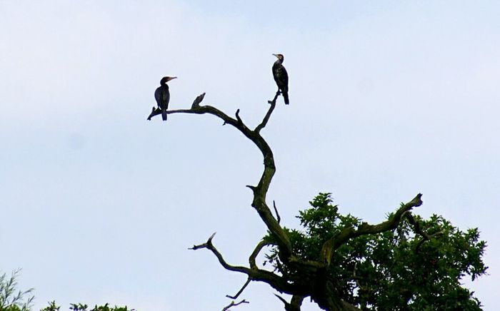 Two Birds Cormorants Beauty In Nature No People Nature Outdoors Animal Wildlife Animals In The Wild Animal Themes Dead Trees Pair Of Birds Two Birds At Once