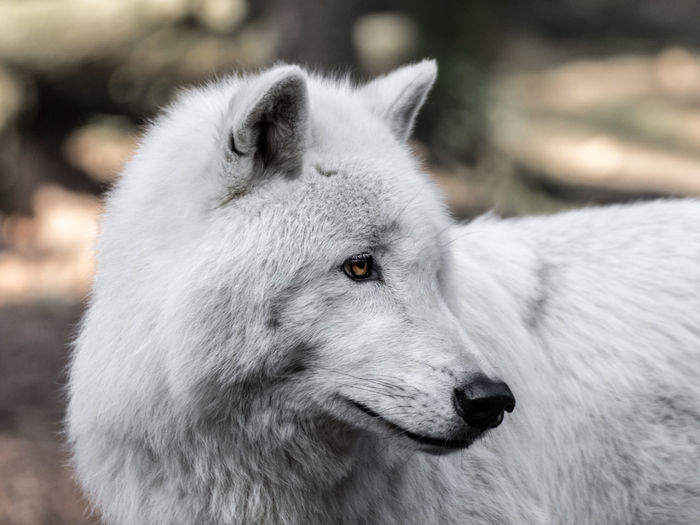 Animal Animal Themes Like A White Wolf No People One Animal Portrait White Wolf Zoology