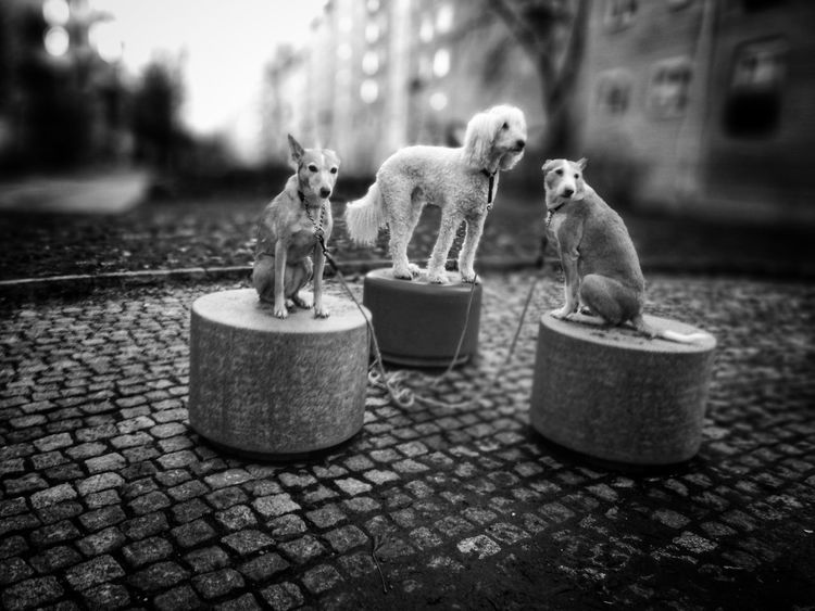 Animal Themes Outdoors Day No People Pets Domestic Animals Black And White Friday Stockholm Sweden Södermalm Stockholm Poodle Podenco Three Dogs Three Animals Dog Dogs Black And White Friday