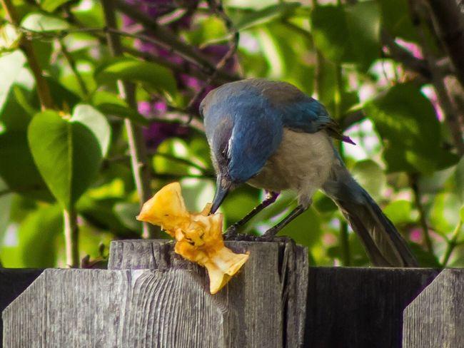 Bird Scrubjay Hungry Applecore Outdoors Birdwatching Bird Feeding