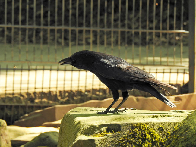 Abraxas Animal Animal Themes Animal Wildlife Animals In The Wild Bird Black Color Close-up Crow Day Focus On Foreground Metal Nature No People One Animal Outdoors Perching Railing Raven - Bird Sunlight Vertebrate