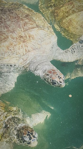 Turtles Sea Turtles Cute Fun Love Adventure Unique Lots Of Turtles Photos From Vacation Cool Pic Unique Beauty Ocean Waves Interesting Pictures Reptiles Animals Reptilecollection Reptile World Reptile Animal Photography Animal_collection Amazing Photo Awesome Vibrance Creative