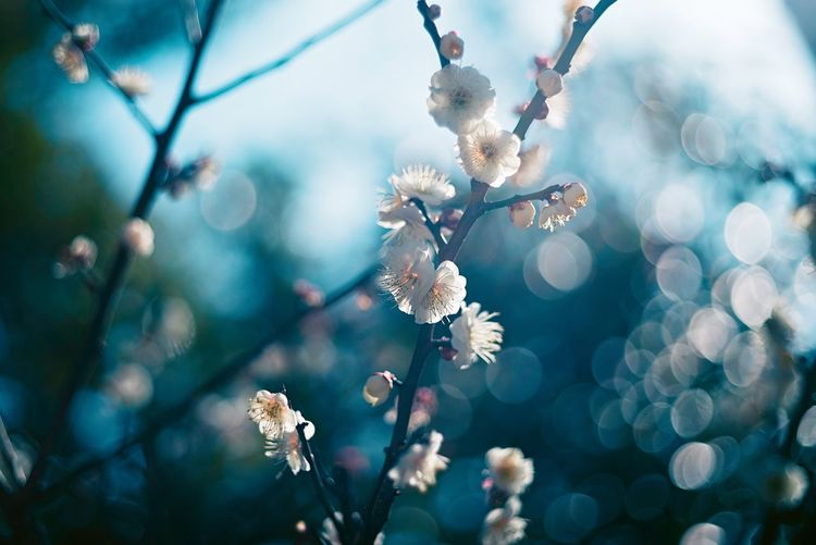 Close-up of plum blossoms in spring