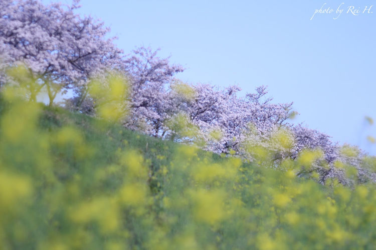 Bittersweet April 桜 菜の花 花 単焦点 Cherryblossoms Fieldmustard Flowers Singlefocus 50mm Canon