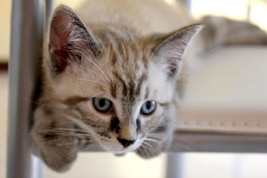 Cat Cat Eyes Cat Eyes (>^ω^<) Cats Of EyeEm Catsofinstagram Close-up Domestic Animals Domestic Cat Feline Hugo The Cat Kitten Kittens Of Eyeem Love My Cat Pets White Color Pet Portraits