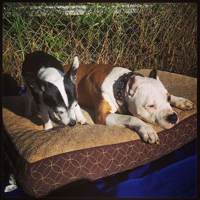 Temporary sun spot setup for the boys while the yard under goes renovation. Sunbathing Pitbullsofinstagram Pitbull Pitbullsofig Instgramdogs Americanstaffordshire Ratchi Ratterrier Chihuahua OldDogs Buddies SnuggleBuddies Snuggle Floypup Oreodog