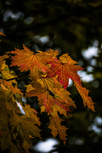 Autumn Autumn Beauty In Nature Close-up Day Leaf Leaves Maple Nature No People Outdoors Season