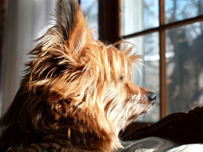 Animal Photography Animal Themes Close-up Cute Pets Day Dog Domestic Animals Domestic Dogs Fur Babies Fur Friends Indoors  Mammal No People One Animal Pets Sky Wet Noses Window Yorkshire Terrier EyeEmNewHere