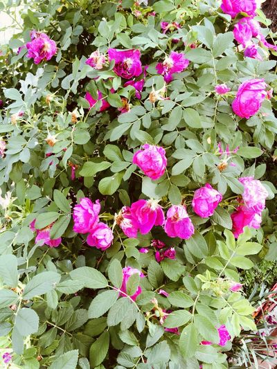 Roses Flower Flowering Plant Plant Pink Color Beauty In Nature Freshness Fragility Petal Nature Vulnerability  Growth Day Close-up High Angle View No People Flower Head Inflorescence Outdoors Botany Plant Part