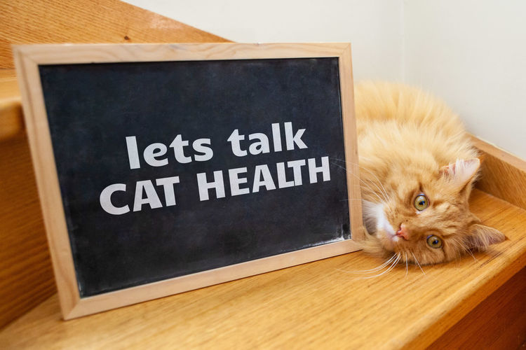 Animal Fluffy Fur Looking Adorable Adult BIG Blackboard  Cat Cat Health Chalk Chalkboard Clean Closeup Concept Conceptual Cute Discussion Domestic Eyes Face Feline Ginger Health Invitation Issues Lets Talk Message Orange Paw Pet Serious Text Typography