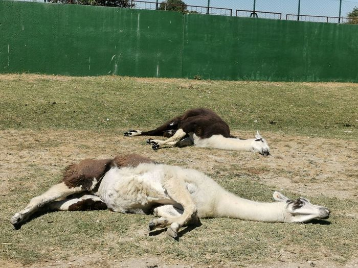 Sheep lying on a field