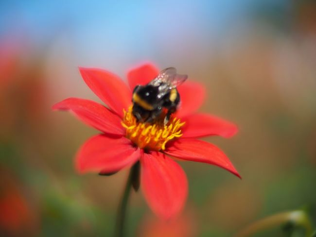 Bumblebee Red Dahlia Red Dahlia Humla Voightlander Nokton 25mm F1:0,95 Olympus OM-D E-M5 Mk.II Showcase August 2016 Showcase August Flower Nature Nature_collection Nature Photography