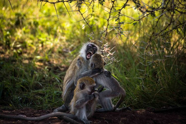 Close-up of monkeys sitting on land in forest