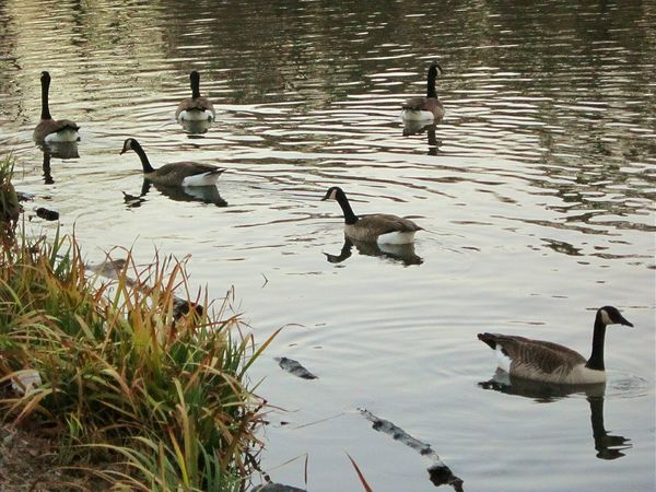 Geese Family Geese At The Lake Naturelover❤ Natures Beauty Lake Beauty Beauty Everywhere Along The Bank