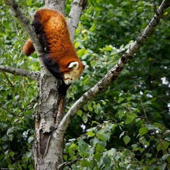 Firefox - Red Panda Taking Photos Photo Photography Pentax Photograph Pentax K-3 Colourful Natur Baum Zoo Animals  Zoo Firefox Red Panda Opelzoo