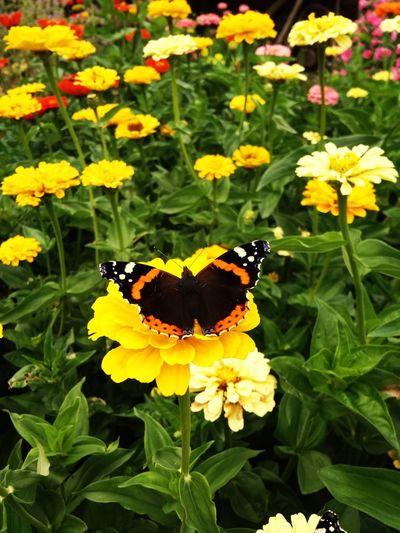 Flower Head Flower Perching Pollination Yellow Butterfly - Insect Lantana Camara Leaf Zinnia  Petal Butterfly