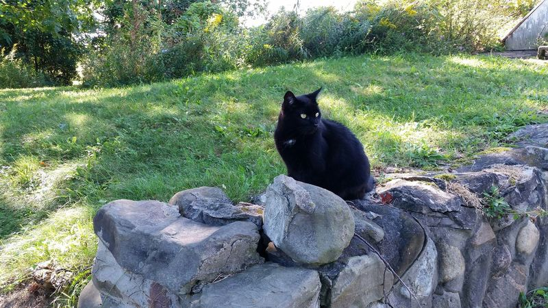 Blsck Beauty - she loves this rock wall because of the chipmunk den inside. Black Cat Rockwall Scenery Nature_collection Cat Lovers Cats Nature Stone