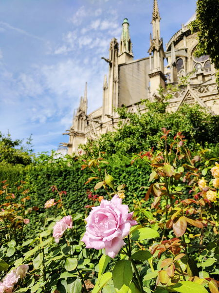Pink Roses by the Notre Dame Architecture Flower Day No People Outdoors Built Structure Building Exterior Cloud - Sky Plant Sky Nature Freshness Flower Head Notre Dame cathedral church rose bushes pink roses Paris
