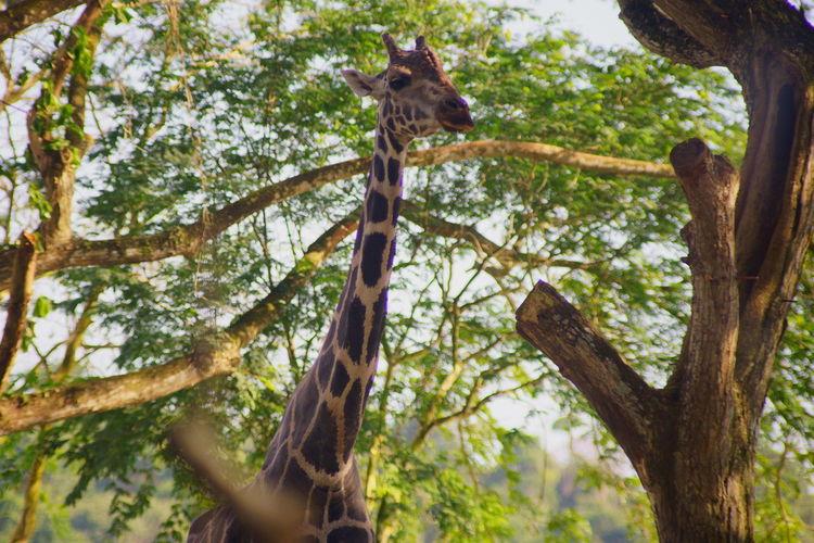 キリン シンガポール動物園にて