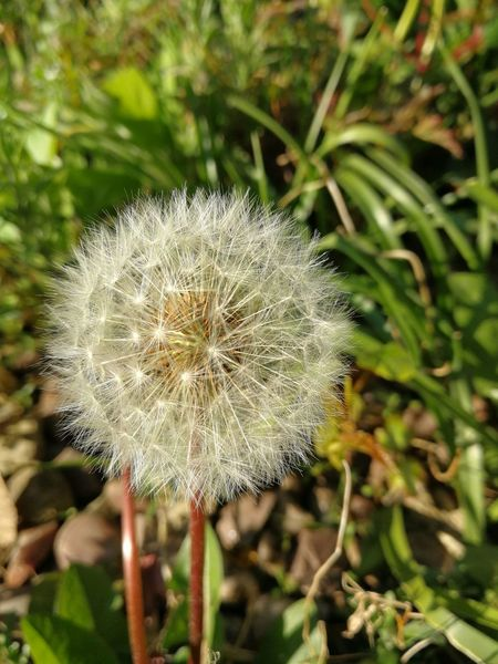 Dandelion Beauty In Nature Nature Outdoors Summer ☀