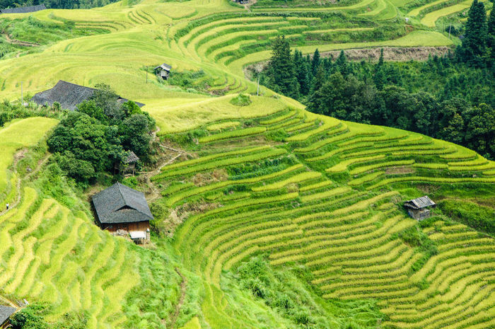 The beautiful terraced rice fields scenery in autumn Agriculture Autumn Farm Green Growth Guilin, Guangxi, China Longsheng Nature Plant Rice Scenic Background Beatuy Countryside Day Landscape Mountains Outdoor Paddy Field Pictures Rice Fields  Scenery Season  Terraced Field Travel Destinations