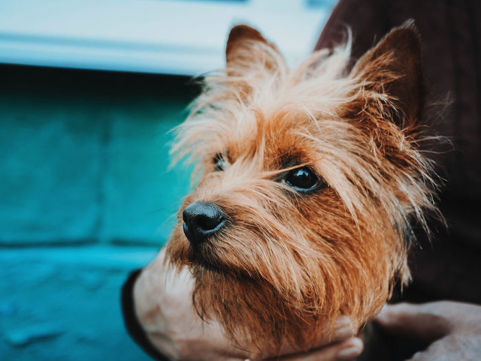 Nice yorkshire terrier dog's head Animal Animal Body Part Animal Hair Animal Head  Animal Themes Brown Canine Close-up Day Dog Domestic Domestic Animals Focus On Foreground Looking At Camera Mammal No People One Animal Pets Portrait Small Vertebrate