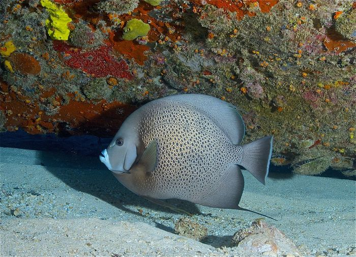Bahamas Gray Angelfish Grey Angelfish Nassau Pomacanthus Arcuatus Animal Wildlife Animals In The Wild Coral Coral Reef Corals Fish Marine Nature No People Outdoors Reef Fish School Of Fish Sea Sea Life Swimming UnderSea Underwater Vertebrate Water Zoology