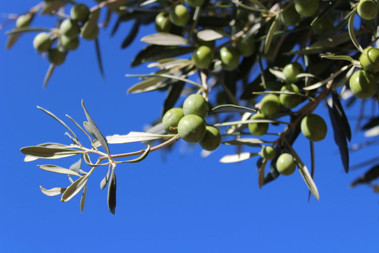 Low angle view of berries growing on tree against blue sky