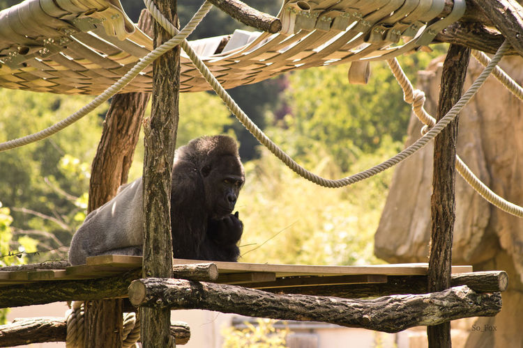 Animal Animal Photography Animal Themes Animal_collection Animals Animals In The Wild Beauval Day Gorilla Gorille Monkey Nature Outdoors Singe Zoo Zoo Animals  Zoophotography
