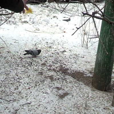 #голубь #голуби #2014 #pigeon #pigeons #птица #птицы #видео #video #birdfeeding Pigeons Video Pigeon 2014 голуби голубь птица Олимпиада птицы Sochi2014 Birdfeeding видео сочи2014