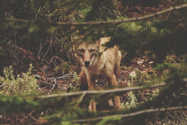 Coyote Mammal Animals In The Wild Animal Themes Animal Wildlife Nature Grass Outdoors No People One Animal Plant Day Looking At Camera Growth Tree Portrait Coyote Wolf WOlves Wildlife