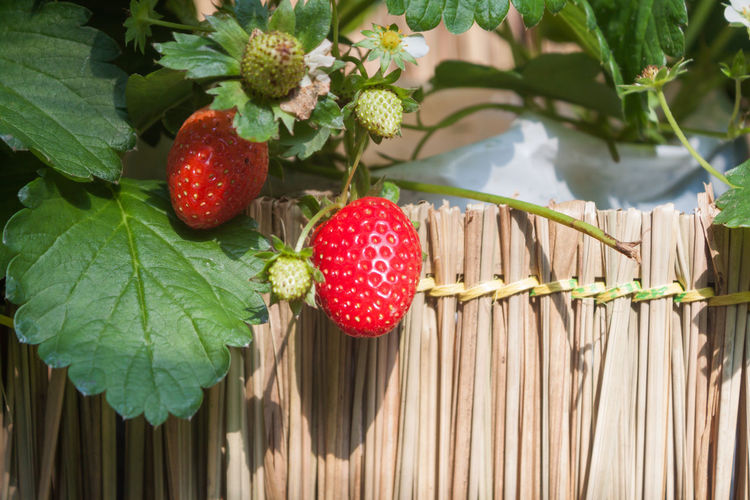 Close-up of strawberries on tree