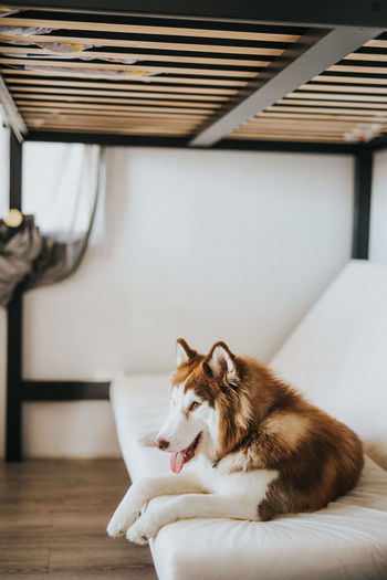 Domestic Pets Domestic Animals Mammal Animal Themes One Animal Animal Cat Indoors  Relaxation Feline Domestic Cat Vertebrate No People Furniture Home Interior Resting Looking Lying Down Home Siberian Husky