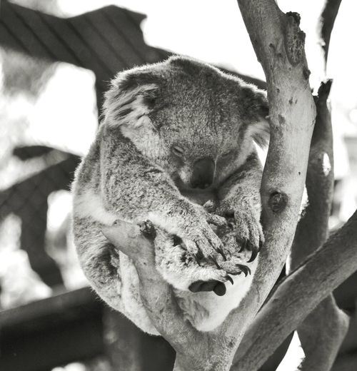 Close-up of koala relaxing on tree