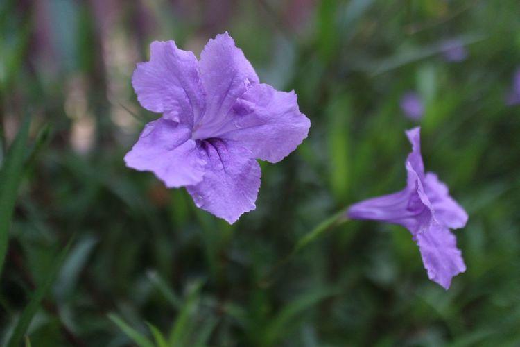 Violet frower