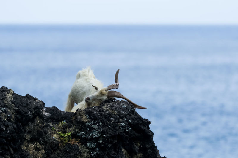 Mountain goat sitting on rock against sea