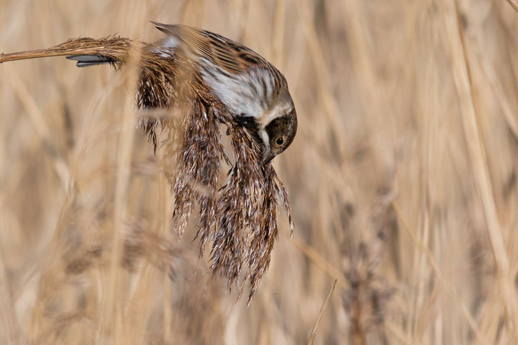 Male Reed