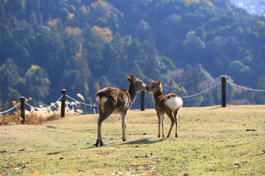 deers in Mount Wakakusa Animals In The Wild Autumn Japan Japan Photography Japanese Deer Nara Animal Themes Day Deers Landscape Mammal Nature Outdoor Photography Outdoors Peak Sika Deer Small Animals Spotted Deer Wakakusayama