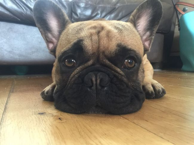 Looking At Camera Dog Pets Hardwood Floor Domestic Animals Portrait One Animal Indoors  Animal Themes Mammal Relaxation Flooring Close-up Animal Head  Floor Wooden Floor Focus On Foreground Animal Nose No People Onlyf Fools And Frenchies