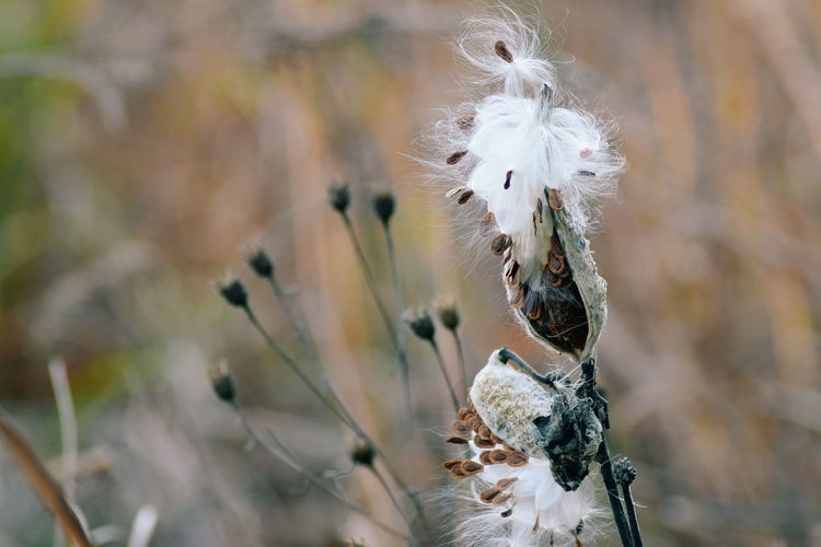 Close-up of dry milkweed