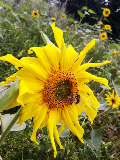 Bees on sunflower at close range Beauty In Nature Bees Bees And Flowers Bees At Work Blooming Blossom Botany Close-up Flower Flower Head Focus On Foreground Fragility Freshness Growth In Bloom Nature Petal Plant Pollen Pollination Selective Focus Summer Flowers Sunflower Yellow
