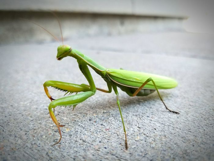 Insect Praying Mantis Insects  Wildlife Green Color Animal Antenna Outdoors Nature Bugs Close-up Nature iIntricate Arthropod Surface Level Day Focus On Foreground