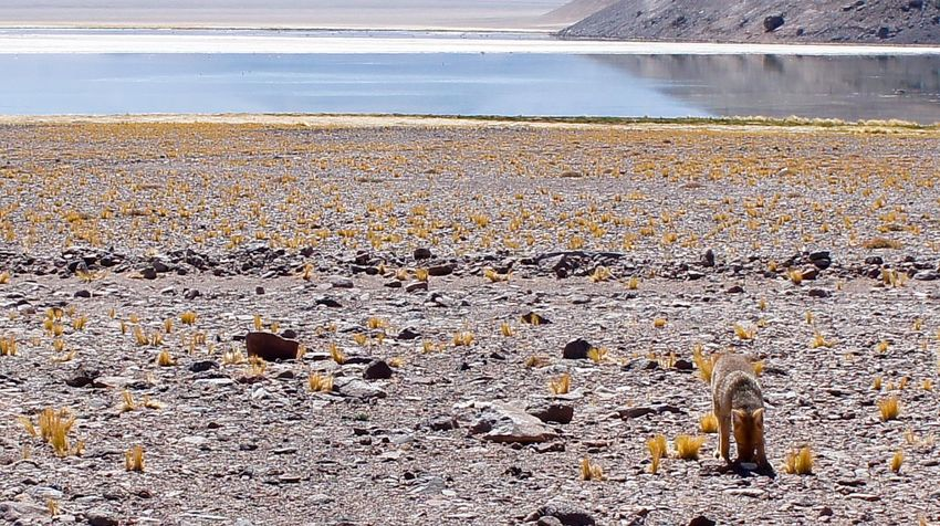 Atacama / Chile 🇨🇱 zorro salvaje Laguna Santa Rosa Outdoors Day Animal Themes Nature No People Mammal Beach Animals In The Wild Sand Water Domestic Animals
