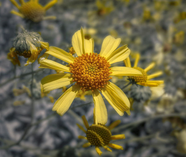 Asteraceae Family Eye Of The Flower EyeEm Nature Lover EyeEmBestPics Flower Flower Head Focus On Foreground Petal Pollen Sunflower Family Yellow