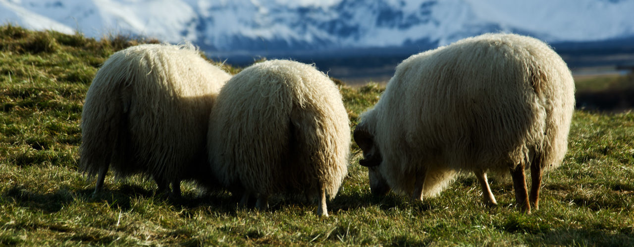 Grass Land Group Of Animals Mammal Animal Animal Themes Nature No People Day Livestock Domestic Animals Outdoors Agriculture Iceland Sheeps Icelandic Sheep Farm Livestock