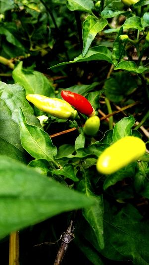 spicy Food Cayenne Pepper Spicy Food Spicy Peppers Leaf Close-up Plant Green Color